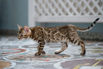 Dsc-3830-dot-bengal-kitten4-05-16