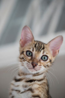 Dsc-3992-dot-bengal-kitten8-05-16