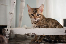 Dsc-3839-dot-bengal-kitten5-05-16
