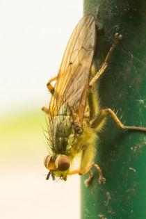 Fliege-1