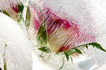 'Roses in ice balls' by Marc Heiligenstein