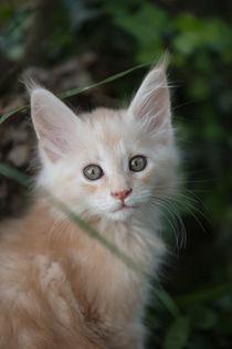 Maine Coon Kitten / 91 by Heidi Bollich