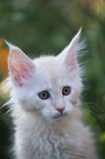 Maine Coon Kitten / 92 by Heidi Bollich