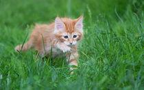 Maine Coon Kitten / 88 by Heidi Bollich