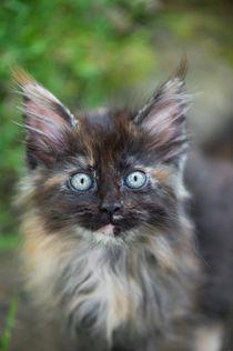 Maine Coon Kitten / 81 von Heidi Bollich