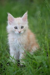 Maine Coon Kitten / 82 von Heidi Bollich