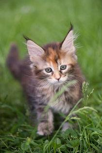 Maine Coon Kitten / 89 by Heidi Bollich