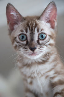 Dsc-3492-dot-bengal-kitten13-dot-05-16