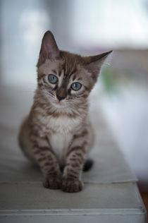 Bengal Kitten / 14 by Heidi Bollich