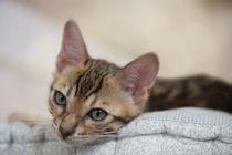 Bengal Kitten / 16 von Heidi Bollich