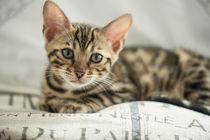 Bengal Kitten / 15 von Heidi Bollich