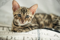Bengal Kitten / 15 by Heidi Bollich