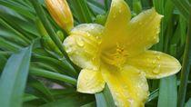 Gelbe-lilie-im-regen