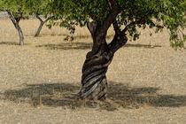 Alter Olivenbaum auf Mallorca by ralf werner froelich