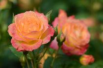 Bea-pinneberg-rosengarten-16-06-16-2146-bearbeitet-1
