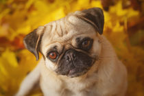 Mops im Herbst by Martina Raab