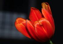'Orange Tulip' von Harvey Hudson