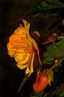 Imgp7043-orange-begonia