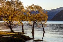 Autumn Trees at Lake Wanaka by Felix Gross