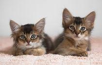 Somali Kittens / 1 by Heidi Bollich