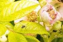 Gefluegelte-ameise-vor-heckenrosenbluete