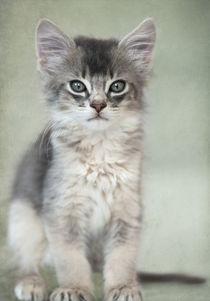 Somali Kitten / 22 von Heidi Bollich
