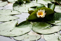 Seerose by Martina Raab