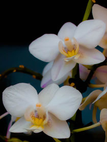 Orchidee  by Tino Schmidt