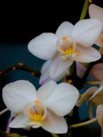 Orchidee  von Tino Schmidt