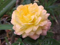 Gelbe Rose von Angelika  Schütgens