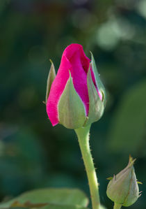 'Pink Rose Bud' by Michael Moriarty
