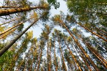 Ein Wald mit Kiefern  von Marcus Krauß