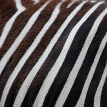 Zebra-fuer-die-wand-5