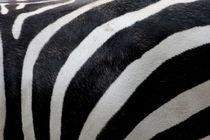 Zebra-fuer-die-wand-1