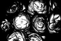 Helle Rosen von Bastian  Kienitz
