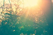 Blossom-sunburst-background