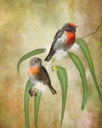 Australian-robin