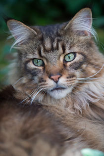 Maine Coon / 73 by Heidi Bollich
