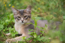 Dsc-9593-dot-somali-kitten1-07-16