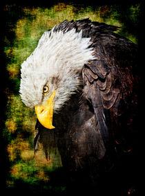 Weißkopfseeadler by Leopold Brix