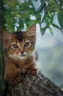 Somali Kitten / 32 von Heidi Bollich