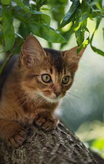 Dsc-9781-dot-somali-kitten11-07-16