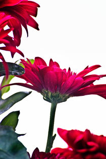 Iso-red-chrysanth