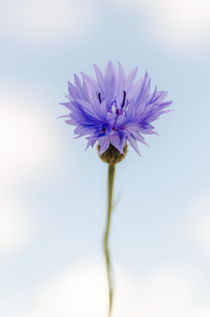 Cornflower by Jeremy Sage