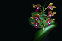 Orchidee-2081-a