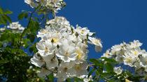 Rosenblüten von Stephan Gehrlein