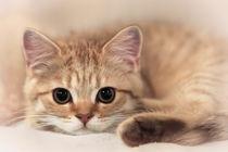 Britisch Kurzhaar Kitten / 79 by Heidi Bollich