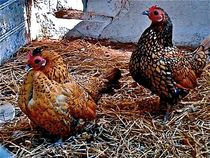 Chicken-2