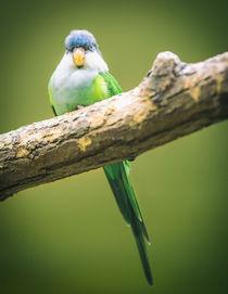 Boss-bird