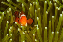 Ewb-clownfish-5
